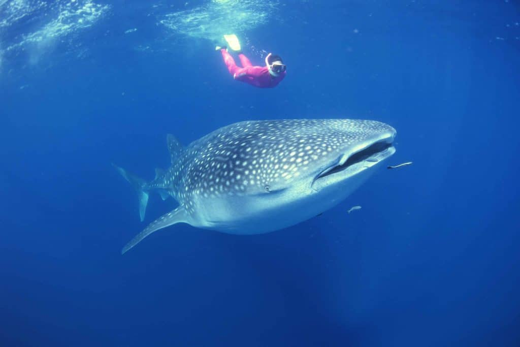 Scuba diver swimming with whale shark In Gladden Spit, Belize