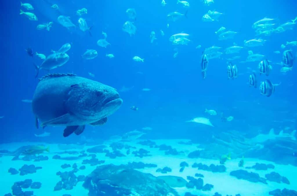 Diving in Aruba - giant grouper fish looking at diver