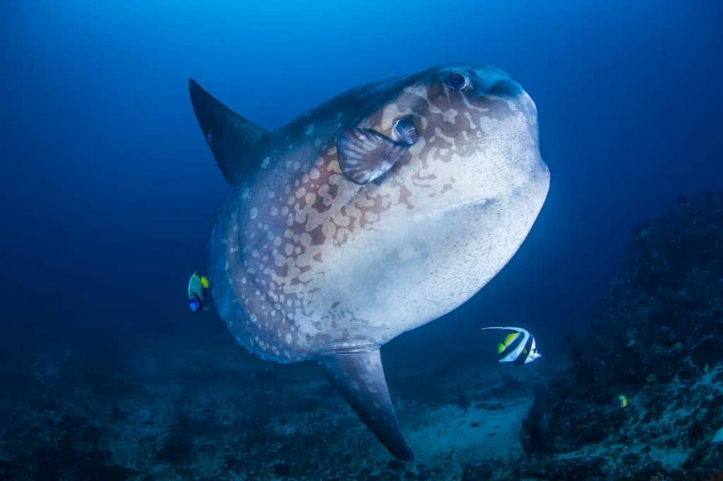 Sunfish-diving-in-spain-Cantabria-Sea
