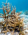 staghorn-coral-in-Margate-Bay-diving-bonaire